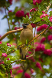 Oregon, Malheur National Wildlife Refuge. Close-up of Cedar Waxwing Photographic Print by Cathy & Gordon Illg