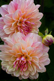 USA, Oregon, Shore Acres State Park. Close-up of Dahlia Flowers Photographic Print by Jean Carter