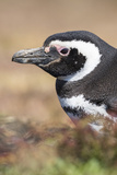 Magellanic Penguin, Portrait at Burrow. Falkland Islands Photographic Print by Martin Zwick