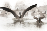 Wapiti Valley, Wyoming. Usa. Canadian Geese Land in a Winter's Pond Photographic Print by Janet Muir
