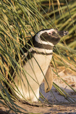 Magellanic Penguin, in Typical Tussock Environment. Falkland Islands Photographic Print by Martin Zwick