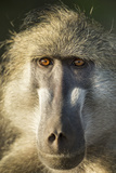 Botswana, Chobe NP, Portrait of Chacma Baboon Sitting in Morning Sun Photo by Paul Souders