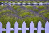 USA, Washington State, Sequim. Field of Lavender with Picket Fence Fotografisk trykk av Jean Carter