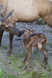 Rocky Mountain Cow Elk with Newborn Calf Photographic Print by Ken Archer