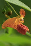 USA, Oregon, USA, Oregon. Close-up of Jewelweed Flower Photographic Print by Steve Terrill