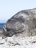 Southern Elephant Seal Males are Social after the Breeding Season Reprodukcja zdjęcia autor Martin Zwick