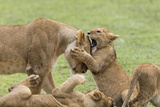 Lion Cub Attempts to Bite the Head of a Lioness, Ngorongoro, Tanzania Photo by James Heupel