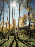 Utah, Autumn Colors of Aspen Trees (Populus Tremuloides) in the NF Photographic Print by Christopher Talbot Frank