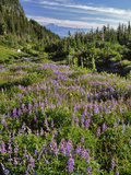 USA, Oregon, Mount Hood Wilderness. Lupine in Elk Cove Photographic Print by Steve Terrill