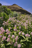 USA, Oregon. Milkweed and Cliff Photographic Print by Steve Terrill