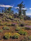 Oregon, Wallowa-Whitman NF. Yellow Eriogonum and Penstemon Photographic Print by Steve Terrill
