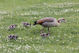 South Cape Town. Mother Goose with Goslings Photo by Fred Lord