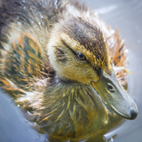 USA, Washington State, Seabeck. Mallard Duck Chick Close-up Photographic Print by Don Paulson