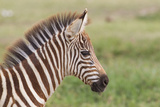 Newborn Colt Portrait, Day or Two Old, Ngorongoro, Tanzania Foto af James Heupel