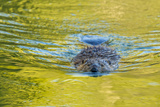 Beaver and Green Reflected Leaf Color, Oxbow Bend, Grand Teton NP, WY Photographic Print by Michael Qualls