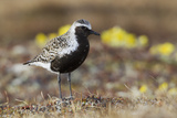 Black-Bellied Plover Photographic Print by Ken Archer
