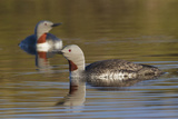 Red-Throated Loon Pair Photographic Print by Ken Archer