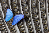 Butterfly, Blue Morpho, on Feather Argus Pheasant Wing Design Photographic Print by Darrell Gulin