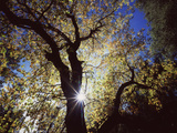 California, Cleveland NF, the Sun's Rays Through a Black Oak Tree Photographic Print by Christopher Talbot Frank