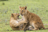 Two Lion Cubs Play, Ngorongoro, Tanzania Photo by James Heupel