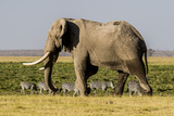East Kenya, Amboseli National Park, Elephant (Loxodanta Africana) Photo by Alison Jones