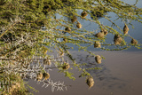 Kenya, Maasai Mara, Weaver Bird Nests Hanging over Mara River Photo by Alison Jones