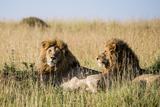 Kenya, Maasai Mara, Mara Triangle, Mara River Basin, Two Lions Photo by Alison Jones