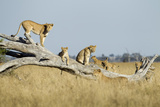 Botswana, Chobe NP, Lioness and Cubs Climbing on Acacia Tree Foto von Paul Souders