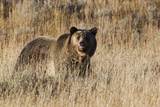 Autumn Grizzly Bear Photographic Print by Ken Archer