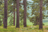 USA, Washington State, Palouse Hills. Pine Forest Scenic Photographic Print by Don Paulson