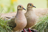 Mourning Doves (Zeaida Macroura) Pair Reproduction photographique par Larry Ditto
