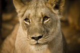 Livingstone, Zambia. Close-up of a Female Lion Photo by Janet Muir