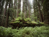 California, Humboldt Redwoods State Park, Coastal Redwoods and Ferns Photographic Print by Christopher Talbot Frank