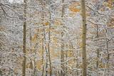 USA, Colorado, San Juan Mountains. Snow on Aspen Trees Photographic Print by Don Grall