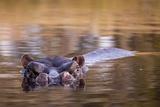 Botswana, Moremi Game Reserve, Hippopotamus Swimming in Khwai River Photo by Paul Souders