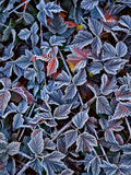 USA, Oregon. Frost on Wild Blackberry Bush Photographic Print by Steve Terrill