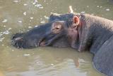 Kenya, Maasai Mara, Mara Triangle, Hippopotamus in Mara River Photo by Alison Jones