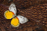 Delias Butterfly on Cooper Pheasant Feather Design Photographic Print by Darrell Gulin