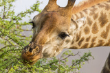 South Londolozi Reserve. Close-up of Giraffe Feeding on Acacia Leaves Photo by Fred Lord