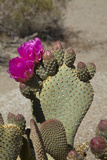 Beavertail Cactus Flower, Lone Pine, Inyo County, California Photographic Print by David Wall