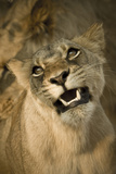Livingston, Zambia. the Face of a Female Lioness While Mating Photo by Janet Muir