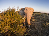 Botswana, Nxai Pan NP, Elephant in Makgadikgadi Pan at Sunset Photo by Paul Souders