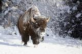 Wapiti, Wyoming. Usa. Bison Walking in the Snow Fotografisk trykk av Janet Muir