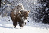 Wapiti, Wyoming. Usa. Bison Walking in the Snow Photographic Print by Janet Muir