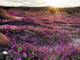 California, Anza Borrego Desert State Park, Desert Wildflowers Photographic Print by Christopher Talbot Frank