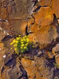USA, Washington. Lomatium Flowers on Basalt Rocks Photographic Print by Steve Terrill