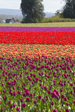 Washington, Mt Vernon, Tulips at the Skagit Valley Tulip Festival Photographic Print by Emily Wilson
