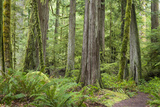 Washington, Olympic NP. Old Growth Forest on Barnes Creek Trail Photographic Print by Don Paulson