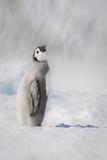 Cape Washington, Antarctica. an Emperor Penguin Chick Photo by Janet Muir