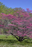 USA, Pennsylvania, Wayne, Chanticleer Garden. Tree in Bloom Photographic Print by Jay O'brien